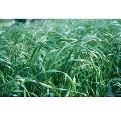 Ray-grass hybride tétraploïde - Saikawa
