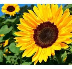 Sonnenblume - PEREDOVICK