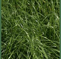 Bastardweidelgras - Hybridweidelgras, tetraploid - GALA
